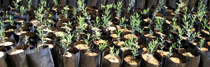 Olive Tree Nursery Trees