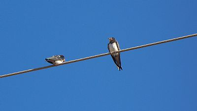 Swallows, Platanes, Rethymno, Crete