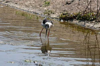 Black-winged Stilt, Agia Lake, Chania, Crete