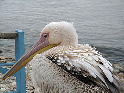 Visiting Pelican at harbour near Chania, Crete