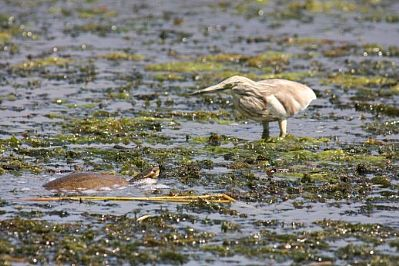 Squacco Heron and Turtle, Agia Lake, Chania